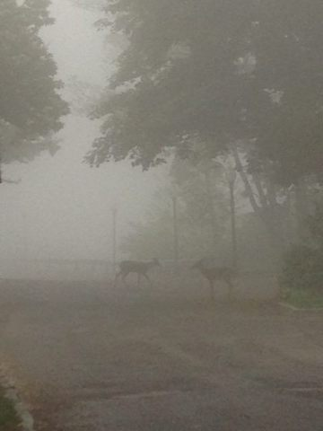 two deer in the fog